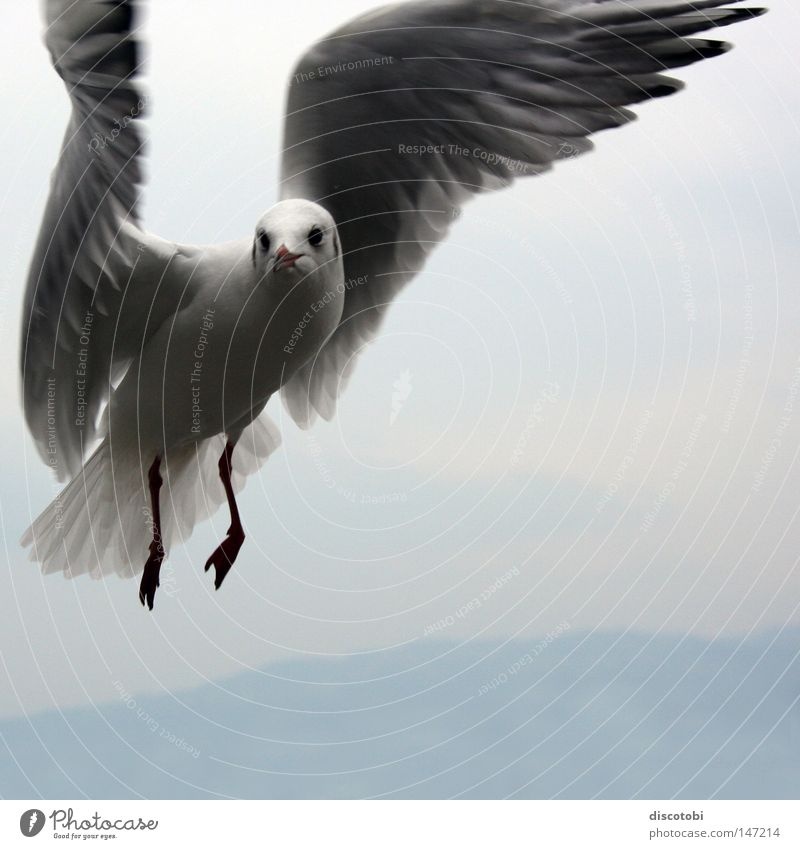 Sky Blue White Animal Cold Gray Air Bird Flying Large Wing Animal face Seagull Hover Movement Flight of the birds