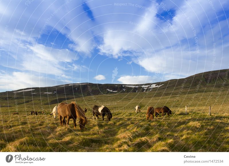 Icelandic horses Air Sky Clouds Weather Beautiful weather Grass Meadow Field Mountain Snowcapped peak Animal Farm animal Horse Iceland Pony Group of animals