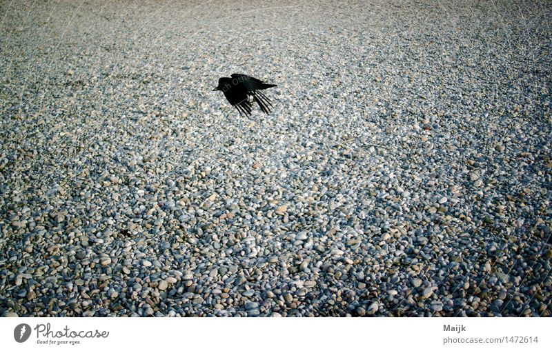 back to air Nature Sand River bank Isar Park Animal Bird Wing Crow 1 Flying Brash Brown Gray Black White city bird Clever Colour photo Exterior shot Close-up