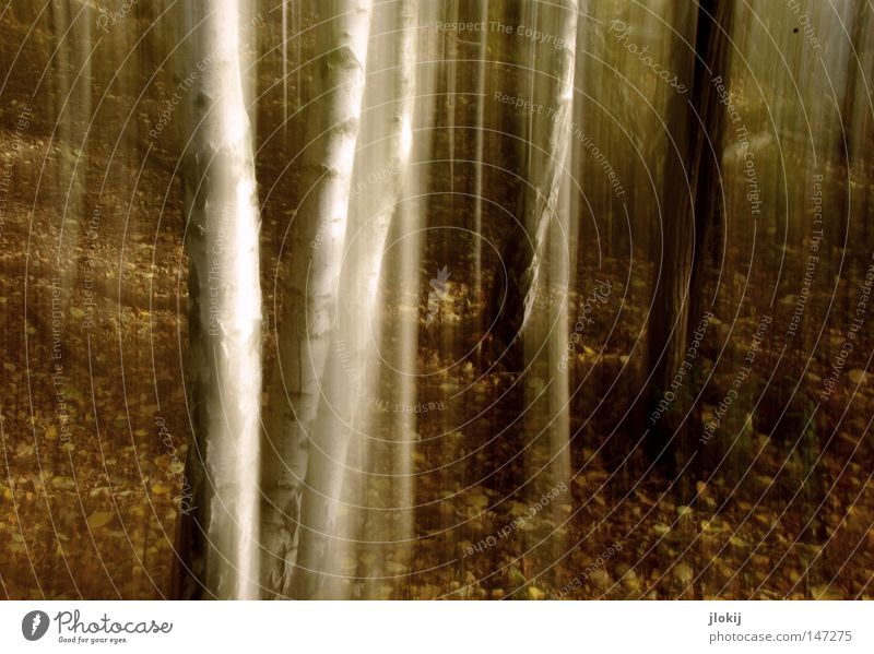 birches Autumn Forest Birch tree Tree Long exposure Leaf Growth Plant Wood White Brown Dull Mountain Hill Smear Jinxed Enchanted forest Seasons Tree bark