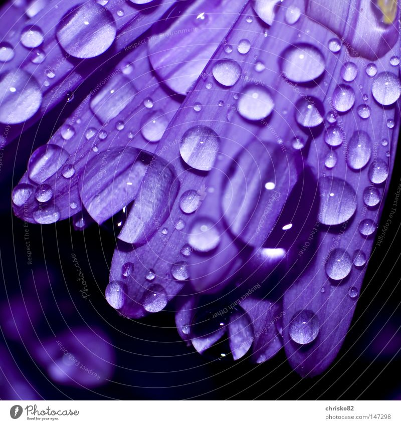 Dew drops on Aster Flower Blossom Blossom leave Violet Drops of water Rain Hang Lie Beautiful Calm Balcony Feng Shui Tension Distribute Distributed Muddled