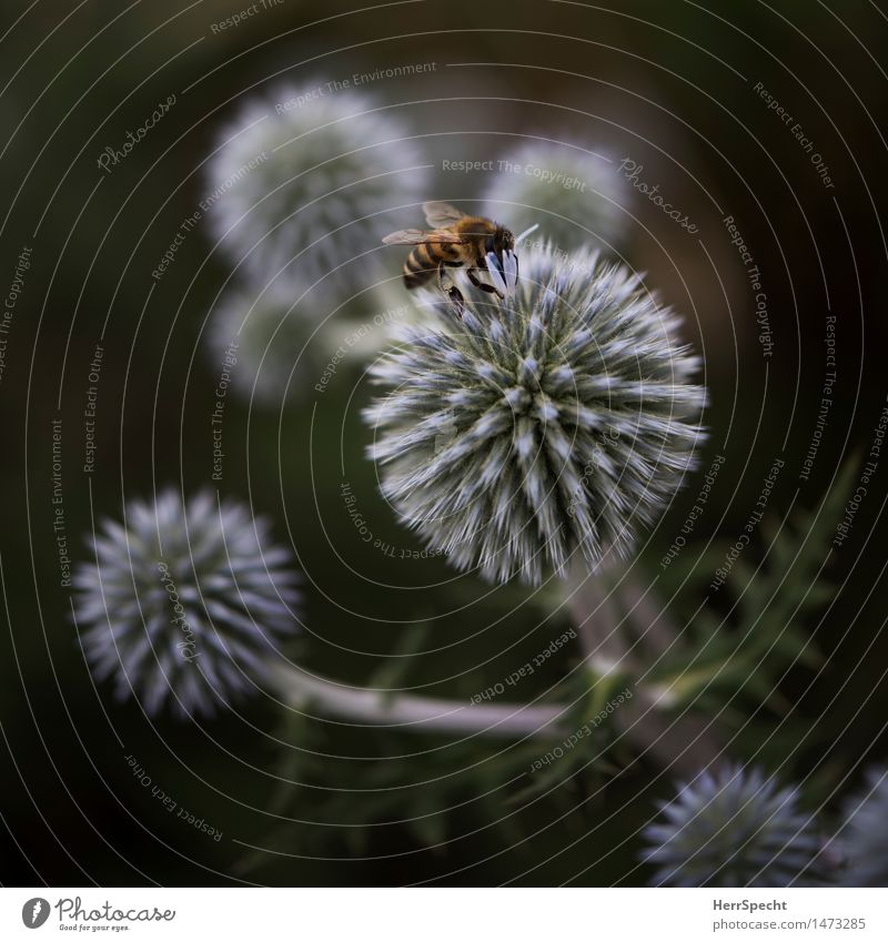 landing site Nature Plant Animal Summer Bushes Blossom Bee 1 Eating Esthetic Beautiful Nectar Spherical Landing Foraging Honey bee Nutrition Summery late summer