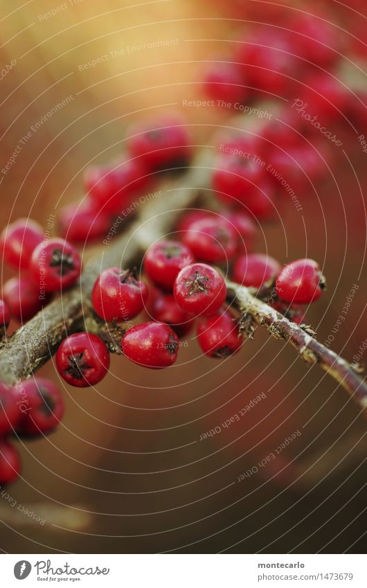 bird food Environment Nature Plant Autumn Winter Bushes Foliage plant Wild plant Berry bushes Berries Thin Simple Fresh Small Near Natural Round Dry Soft Red