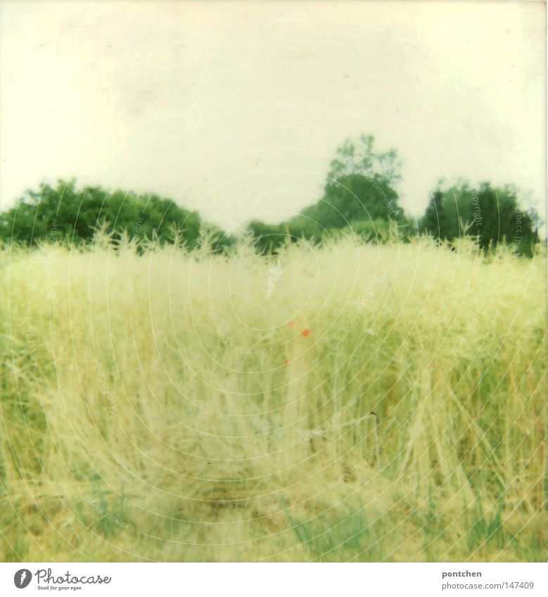 A cornfield before trees. Wild nature. Agriculture Polaroid Day Light Fragrance Summer Plant Animal Sky Autumn Warmth flowers Grass bushes Meadow Field Bright