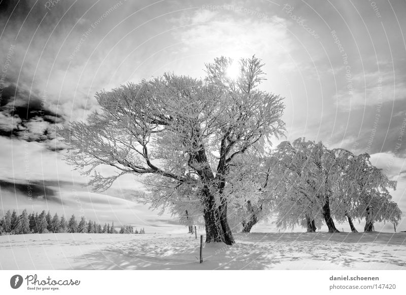 new christmas card 3 Sun Sunbeam Winter Snow Black Forest White Deep snow Leisure and hobbies Vacation & Travel Background picture Tree Snowscape Nature Horizon