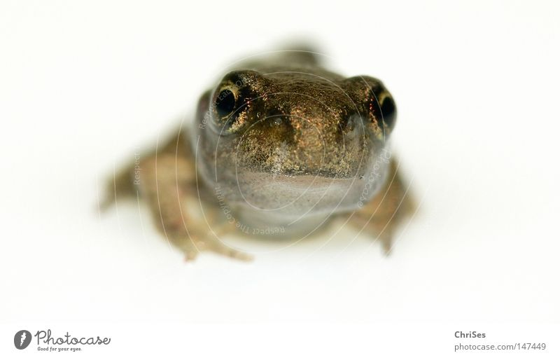Small and alone: grass frog (Rana temporaria) Eyes Frog Frogs Amphibian Grass frog Animal Hop Jump Water Meadow White Bright Field Moor frog Toad Disgust Summer