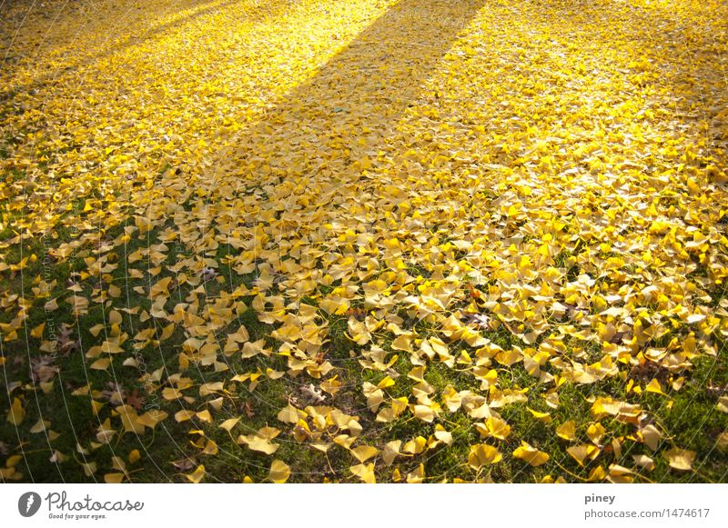 ginkgo gradient Environment Nature Plant Autumn Tree Leaf Park Simple Infinity Natural Beautiful Yellow Gold Green Colour photo Multicoloured Exterior shot
