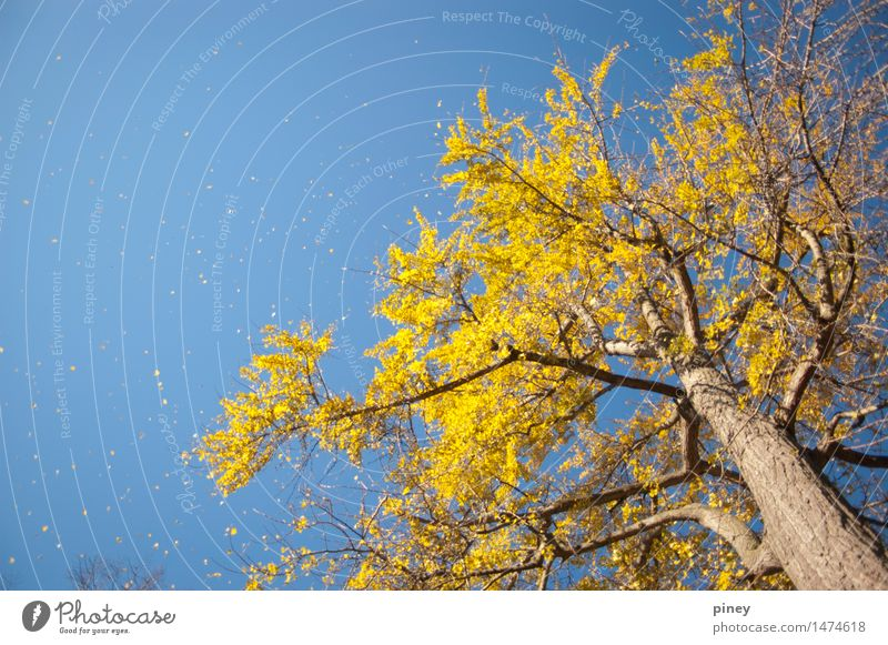 ginkgo tall Environment Nature Plant Air Sky Cloudless sky Autumn Beautiful weather Tree Leaf Park Esthetic Far-off places Infinity Tall Blue Yellow Gold