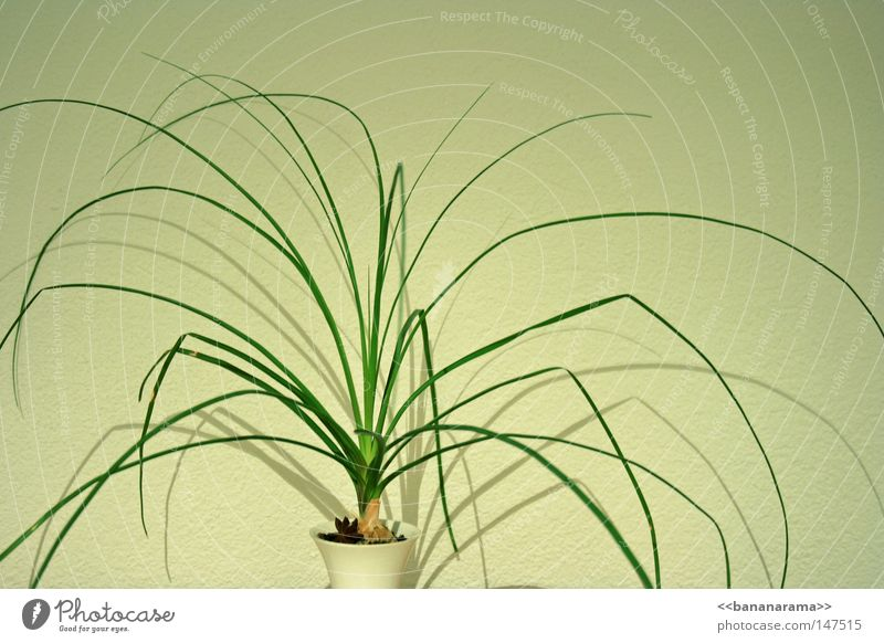 spider leg office plant Grass Plant Bushes Blade of grass Green Vase Houseplant White Decoration Evergreen plants Shadow Earth spider plant clean ...