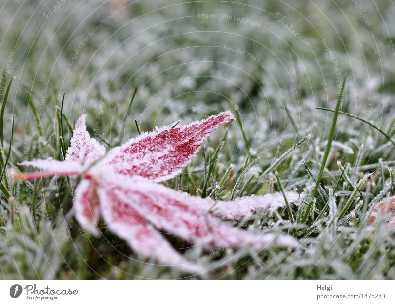 frozen... Environment Nature Plant Winter Ice Frost Grass Leaf Maple leaf Garden Freeze Lie Exceptional Cold Natural Green Red White Calm Uniqueness Transience