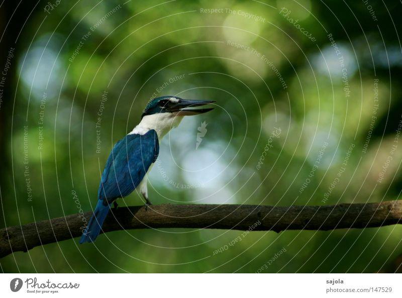 Blue White Tree Animal Black To talk Bird Sit Observe Communicate Hind quarters Asia Scream Virgin forest Testing & Control Beak