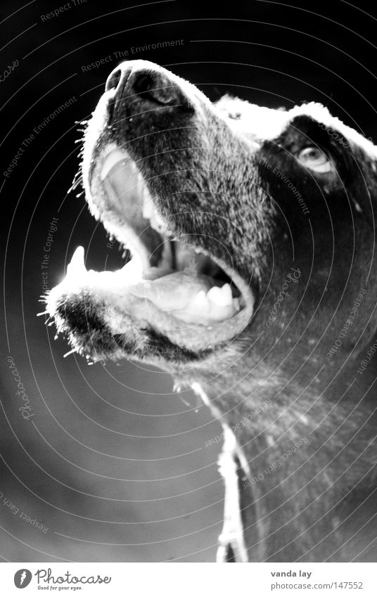 Good boy Hound Dog Animal Loyalty Best Brown Mammal Expectation Looking Dangerous Back-light Black White Concentrate Black & white photo paul German Shorthair