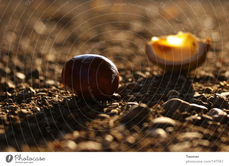 Autumn Fruit Bowl Chestnut tree Sweet chestnut Slip Husk Munitions Fall down Beech family Horse chestnut