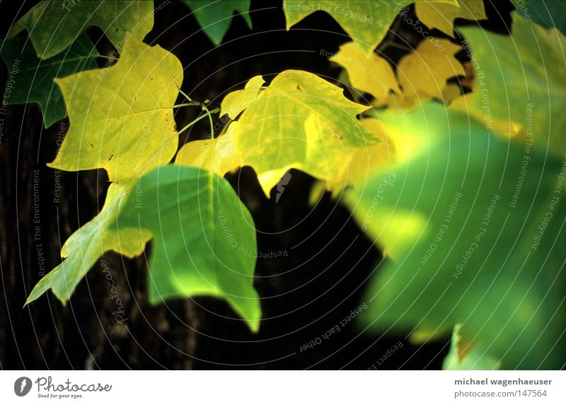 Nature Tree Green Leaf Yellow Autumn Tree trunk Branchage Twigs and branches Autumnal