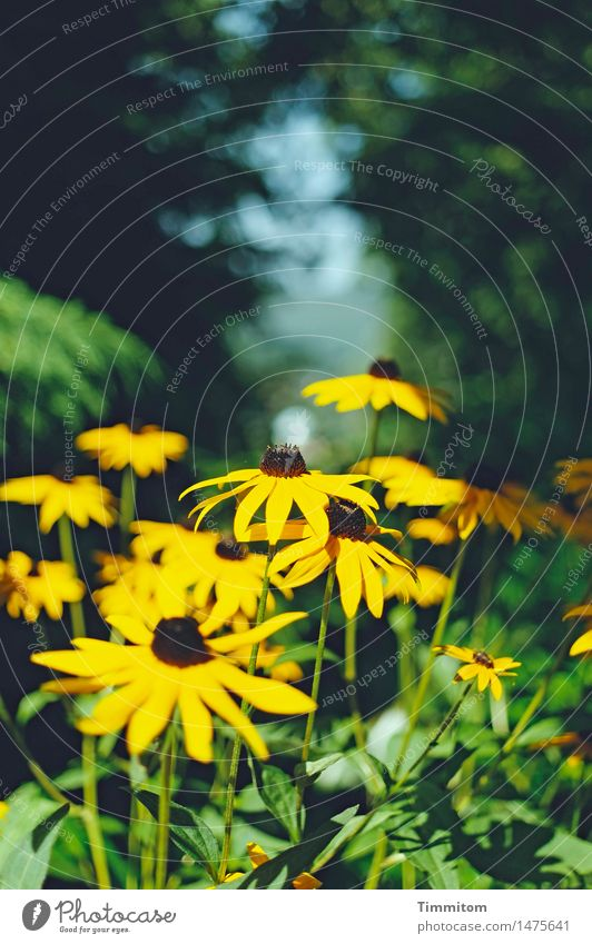 Final spurt. Environment Nature Plant Summer Beautiful weather Flower Blossom Rudbeckia Garden Blossoming Yellow Green Colour photo Exterior shot Deserted Day