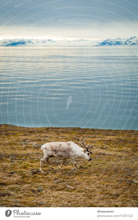 Reindeer Eating Summer Ocean Snow Mountain Man Adults Nature Landscape Animal Grass Forest Fur coat Wet Natural Wild Brown White The Arctic Spitzbergen water