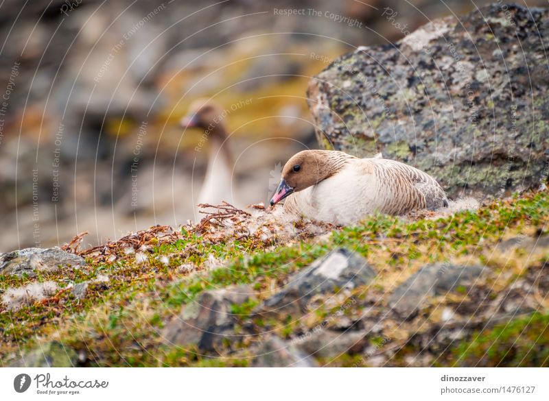 Grater white fronted goose Elegant Summer Couple Environment Nature Landscape Animal Coat Bird Wild White grater white fronted goose Nest-building The Arctic