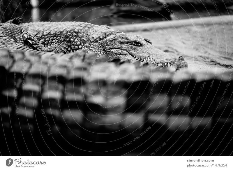 crocodile Nature Animal Wild animal Scales Zoo Crocodile 1 Group of animals Aggression Threat Gigantic Astute Strong Fear Black & white photo Animal portrait
