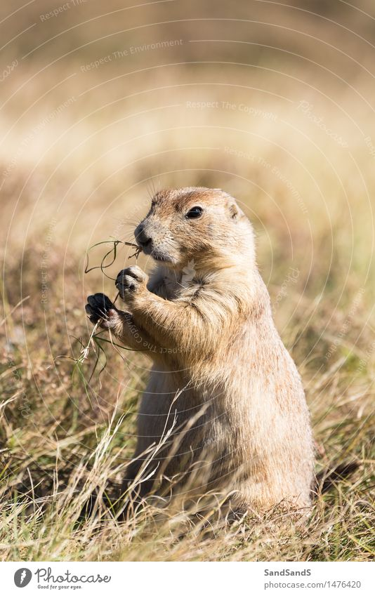 Priarie dog Environment Nature Animal Meadow Field Wild animal Animal face 1 Beautiful Cuddly Funny Brown America States USA United North Mammal Prairie dog