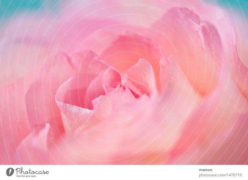 Nature Plant Beautiful Colour Flower Blossom Love Spring Natural Feminine Pink Elegant Birthday Esthetic Wedding Rose