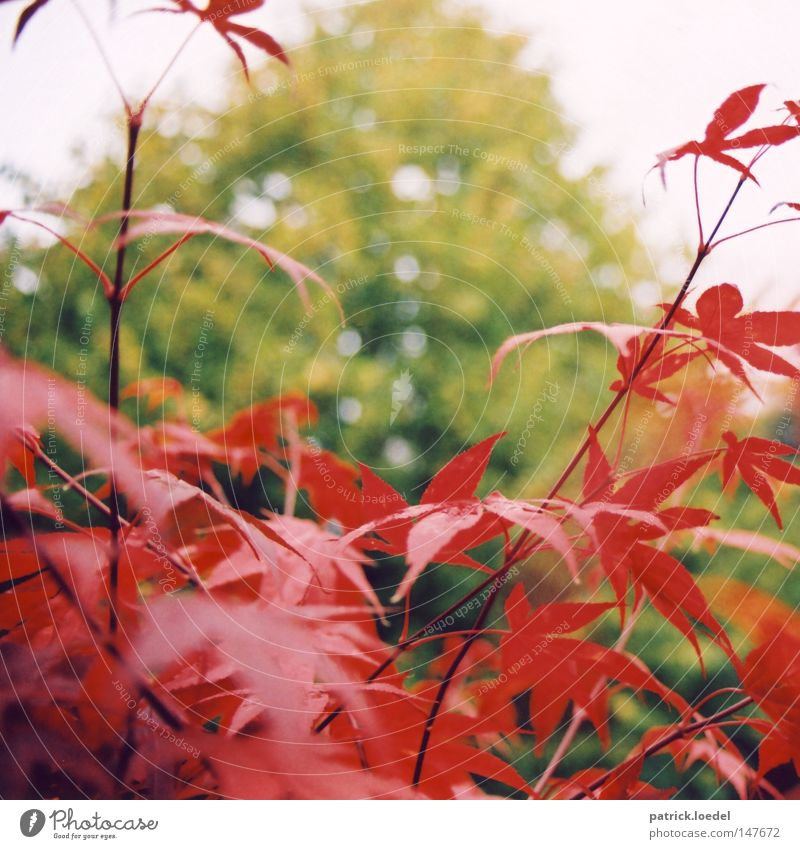 [HH08.4] Red on green Leaf Bushes Tree Maple tree Autumn Plant Green Blur Park Nature Sky Exterior shot