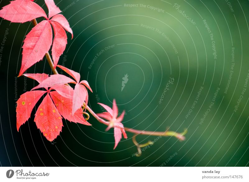 Nature Green Beautiful Red Plant Autumn Environment Background picture Wild Vine Climbing Delicate Fine Tendril Creeper Autumnal colours