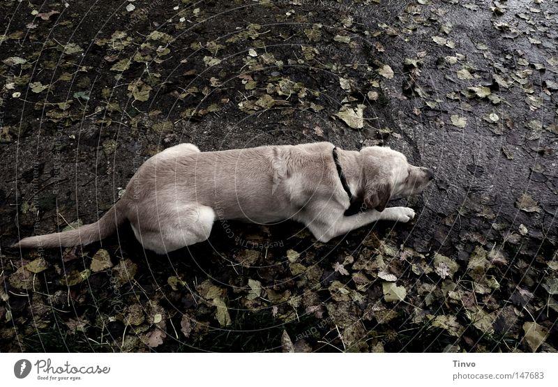 Desaturated dog Nerviness Anxious Anthracite Asphalt Beige Observe Leaf Dark Pelt Sidewalk Light brown Gray Pet Autumn Dog Cold Lie Wet Paw Rain Odor Tails
