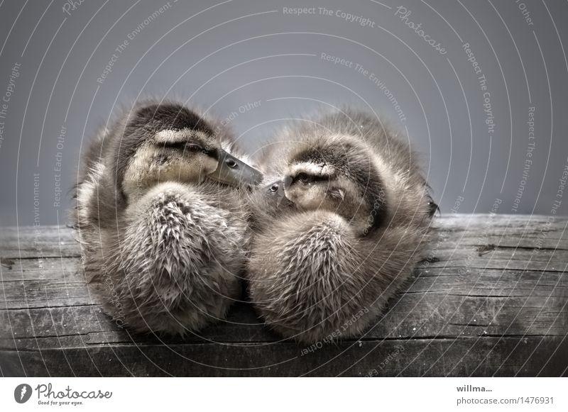 Animal Together Sit Cute Soft Cuddling Duck birds Joist Duckling
