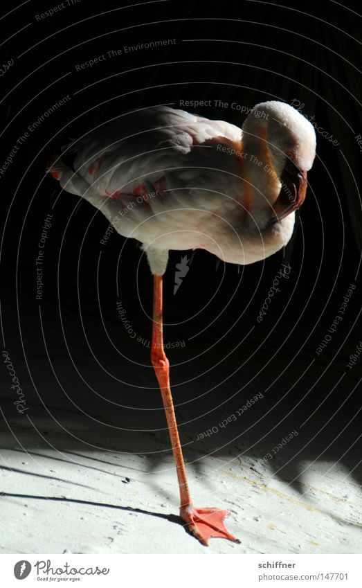 Calm Animal Bird Pink Break Peace Feather Zoo Beak Pole Peaceful Flamingo