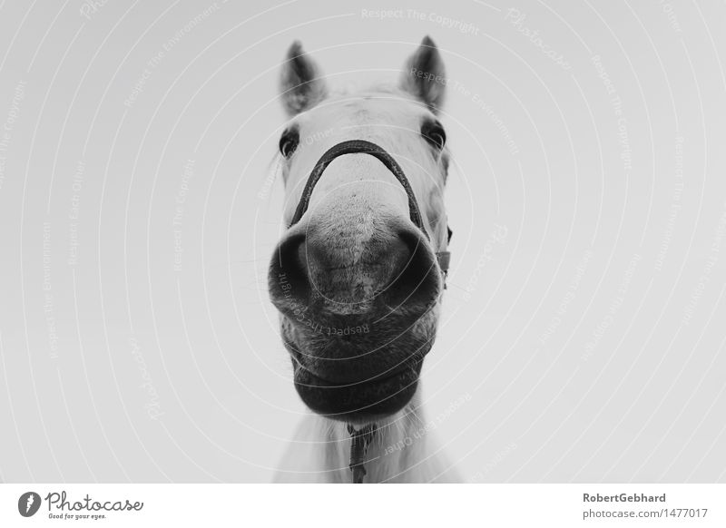 Stable portrait Leisure and hobbies Animal Pet Farm animal Horse Animal face Zoo 1 Breathe To feed Smiling Looking Stand Cuddly Near Curiosity Joy Contentment