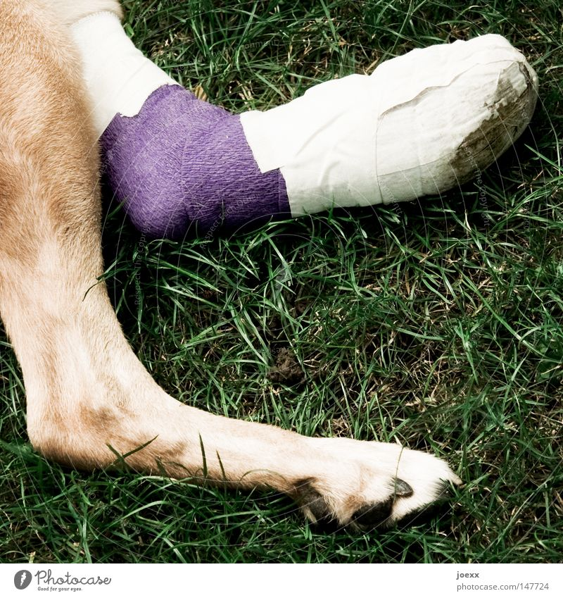 gizmo Grass Meadow Dog Paw 1 Animal Lie Brown Green Violet Pain Relaxation Healthy Rescue Legs Lint Bandage Accident Colour photo Subdued colour Exterior shot
