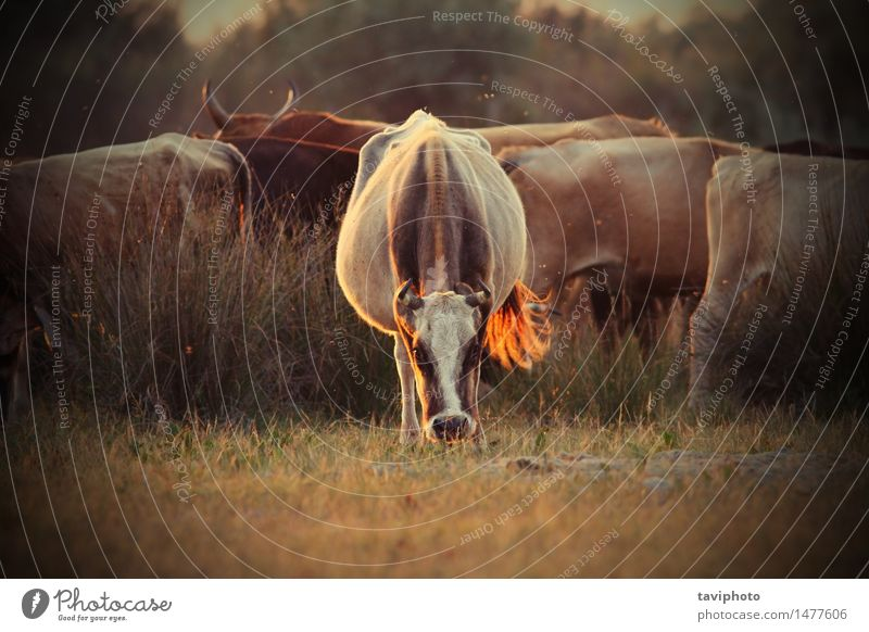 cows herd in orange sunset light Beautiful Summer Group Nature Landscape Animal Warmth Grass Meadow Cow Herd To feed Strong Wild Farm Large-scale holdings
