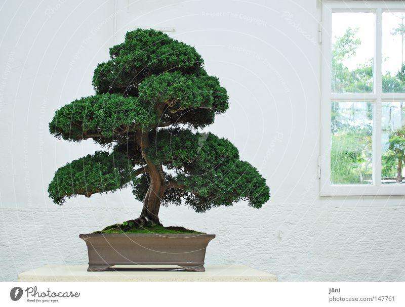 bonsai aesthetics Bonsar Asia Tree China Japan Harmonious Miniature Plant Maturing time Growth Friendliness Holy Life Living thing Continents Buddhism