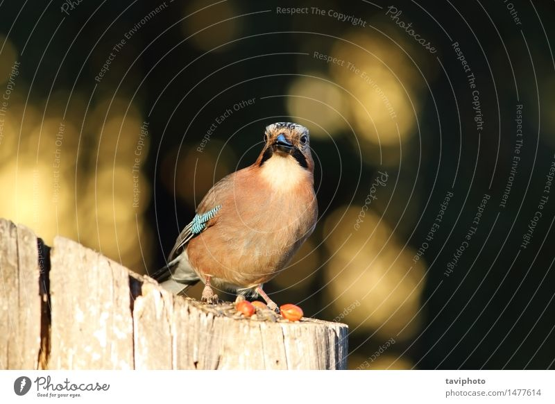 european common jay looking at the camera Beautiful Face Camera Environment Nature Animal Park Forest Bird Stand Smart Wild Brown Colour garrulus Feather
