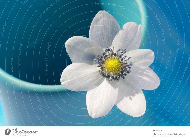 Blue Beautiful White Flower Yellow Blossom Spring Flat (apartment) Vase Anemone Crowfoot plants