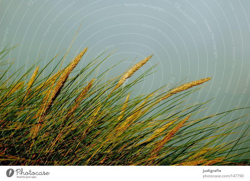grass Grass Marram grass Sweet grass Coast Sky Wind Line Baltic Sea Beach dune Growth Nature Environment Green Blue Yellow Colour sand pipe stalk risp