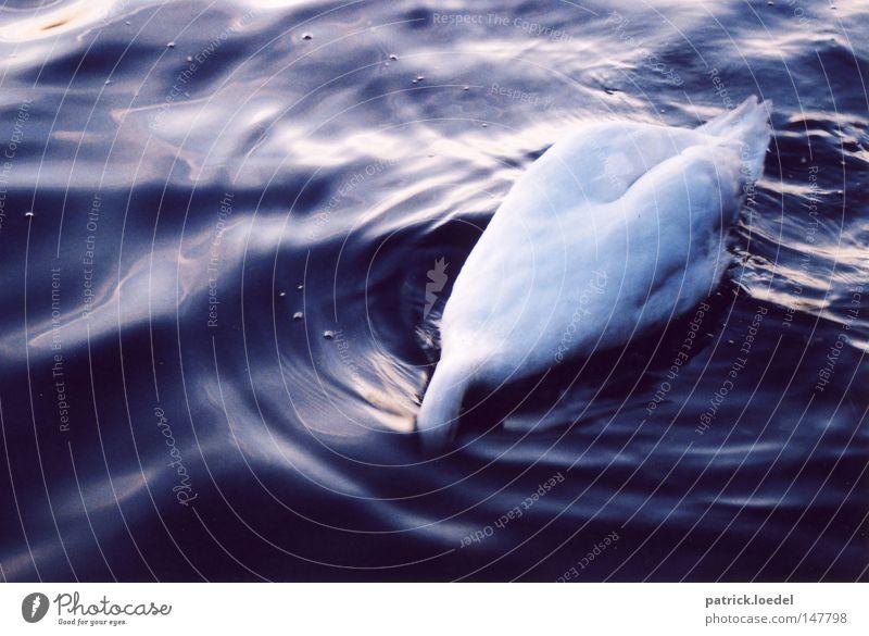 Water Animal Environment Lake Waves Bird Elegant Swimming & Bathing Esthetic Drinking River Romance Clarity Dive Catch Noble