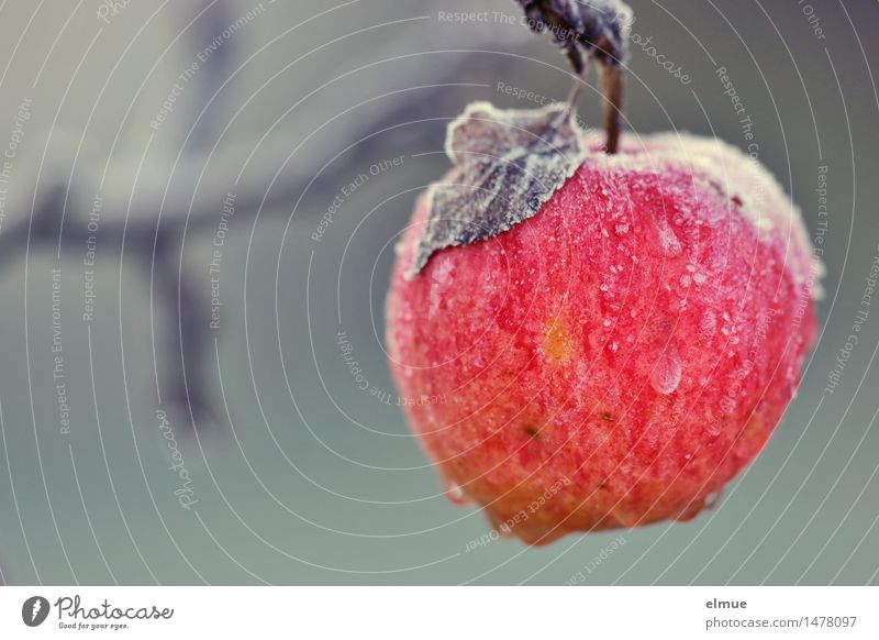 Apple of knowledge Winter Ice Frost Apple tree Tree of knowledge Paradise Awareness Sleeping Beauty Hang Eroticism Wet Natural Round Juicy Feminine Red