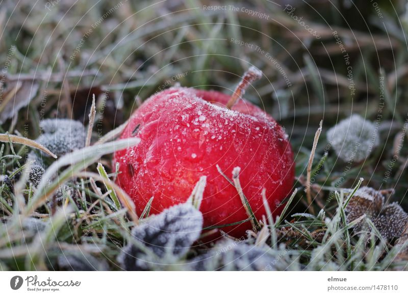 There's the worm in there. Nature Winter Ice Frost Apple Baked apple Meadow Tree of knowledge Awareness Ice age Cold shock Eroticism Healthy Delicious Sweet Red