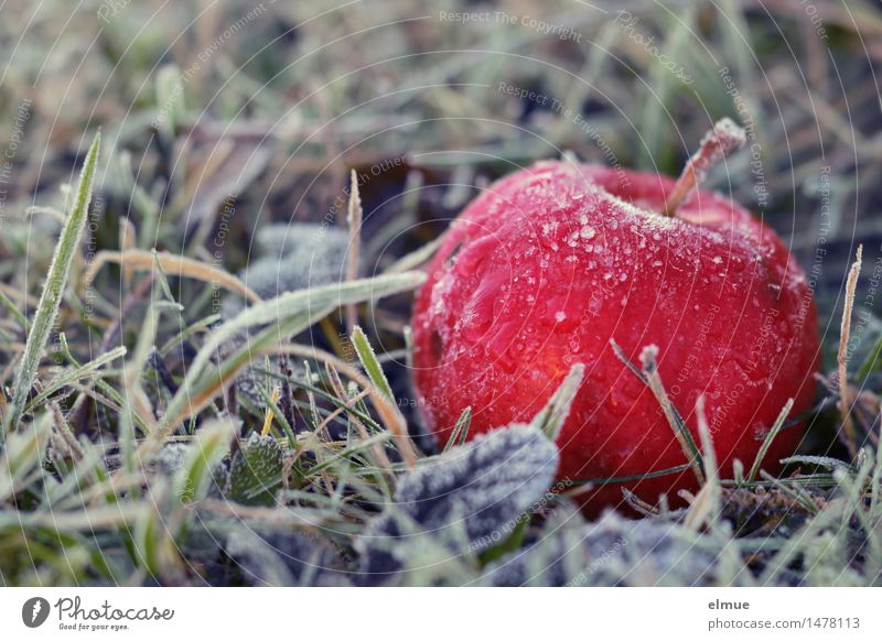 ... right next to the pear tree Winter Ice Frost Apple Apple tree Meadow Awareness Tree of knowledge Ice crystal Paradise Eroticism Healthy Feminine Red Wisdom