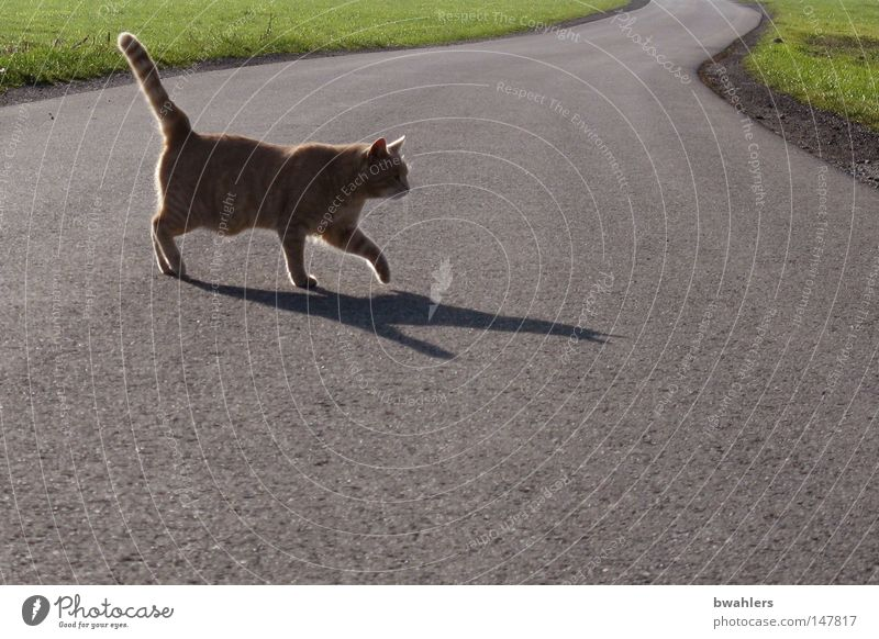 Cat crosses my path Back-light Street Gray Going Meadow Land Feature Domestic cat Shadow Evening Evening sun To go for a walk Dusk Calm Empty Pride Traverse