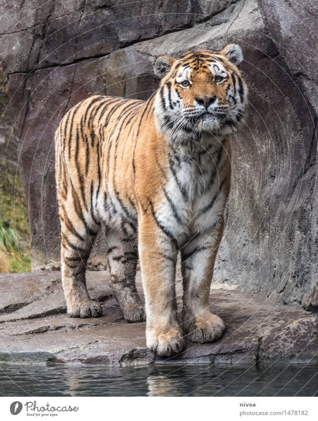 el tigre Tourism Trip Adventure Zoo Nature Plant Animal Rock River bank Pond Lake Brook Wild animal Pelt Claw Paw 1 Stone Water Observe Discover Stand Elegant