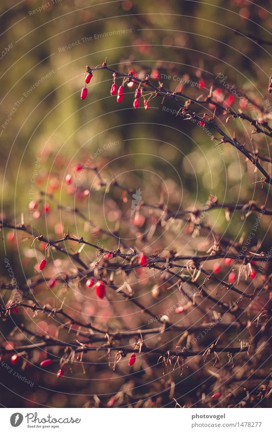 thorn bush Nature Plant Bushes Barberry Prickly bush Garden Old Natural Brown Green Red Unwavering Thorn Thorny Colour photo Exterior shot Close-up Deserted Day