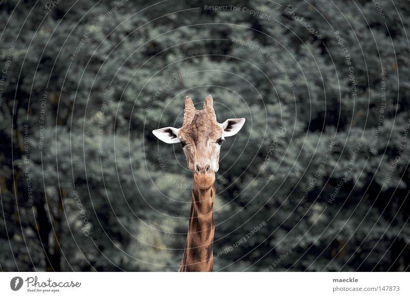 giraffe Giraffe Nature Animal Perspective Wilderness Africa Exotic Curiosity Mammal
