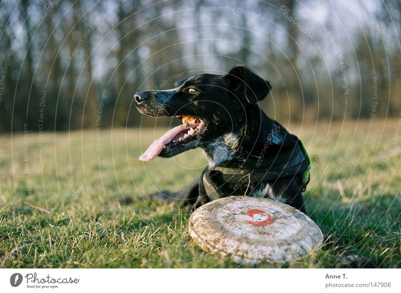 Dog Tree Joy Animal Black Calm Meadow Field Leisure and hobbies Dirty Long Tongue Frisbee