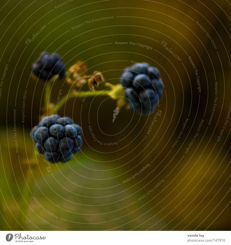 Nature Plant Autumn Food Environment Fruit Square Organic produce Berries October Medium format September Edible Blackberry