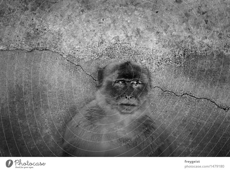 Human being White Animal Black Life Think Meditative Observe Longing Animal face Monkeys Barbary ape