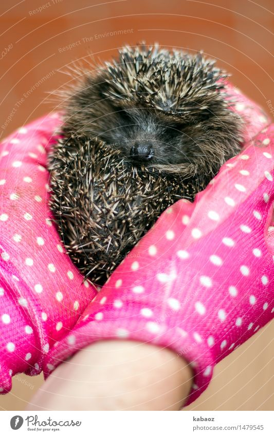 hedgehogs Animal Pet Wild animal Pelt Petting zoo Hedgehog 1 Baby animal glove Emotions Joy Happy Contentment Trust Safety Protection Safety (feeling of)