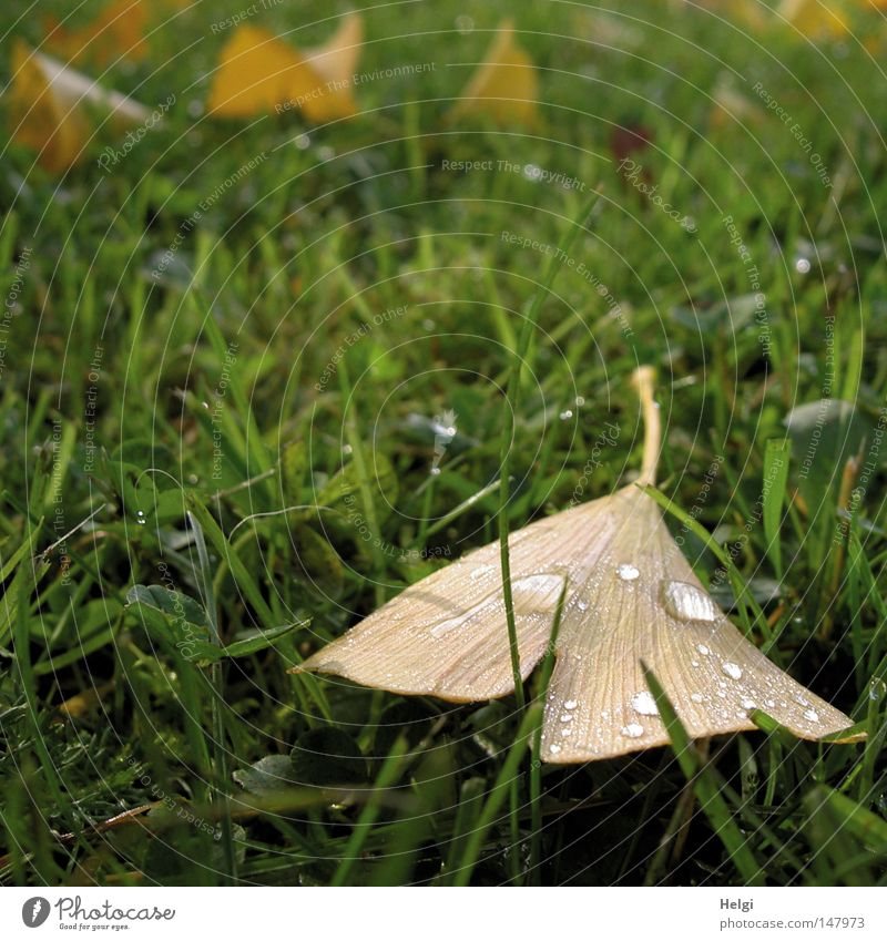 autumnal brown ginkgo leaf with raindrops lies on a green meadow Ginko Leaf Autumn Autumnal October November Meadow Grass Lawn Blade of grass Drops of water