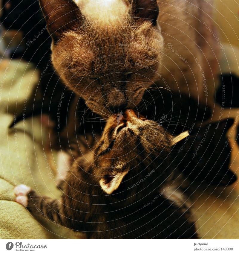 Cat Love Small Infancy Sweet Cute Ear Pelt Friendliness Trust Kissing Paw Mammal Thailand Domestic cat Lick